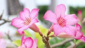 - rosa färgblomma - gräsplansidor lager videofilmer