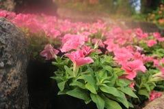Rosa färgblomma i morgonen arkivbilder