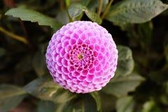 Rosa färgblomma i polermedelträdgård Arkivbilder