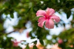 rosa färgblomma i Thailand Royaltyfri Foto
