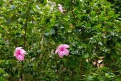 rosa färgblomma i Thailand Fotografering för Bildbyråer
