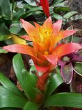 Rosa färgblomma i trädgård Royaltyfri Foto