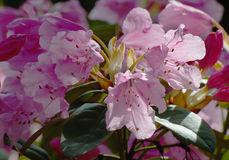 Rosa färgblomma i trädgården, rhododendron Arkivfoto