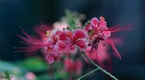 Rosa färgblomma i Vietnam Arkivbilder