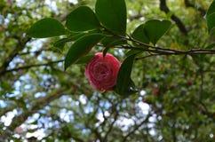 Rosa färgblomma, kamelia Arkivbild