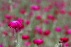 Rosa färgblomma med den gröna stammen Royaltyfri Fotografi