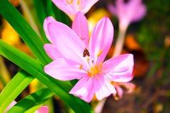 Rosa färgblomma med ett kryp Fotografering för Bildbyråer