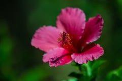 Rosa färgblomma med grön bakgrund Fotografering för Bildbyråer