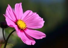 Rosa färgblomma med gula pistillar Arkivfoto