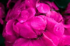 Rosa färgblomma med regndroppar arkivfoto