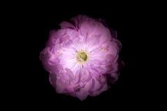 Rosa färgblomma med runda kronblad som petunian som isoleras på svart bakgrund Royaltyfri Fotografi