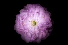 Rosa färgblomma med runda kronblad som petunian som isoleras på svart bakgrund Royaltyfria Bilder