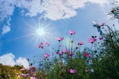Rosa färgblomma med solen Royaltyfri Fotografi