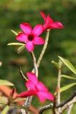 Rosa färgblomma med suddighetsbakgrund Royaltyfri Bild