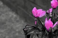 Rosa färgblomma med tegelstenbakgrund royaltyfria foton