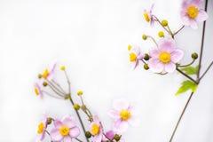 Rosa färgblomma med vitgrå färgbakgrund Arkivfoto