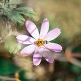 Rosa färgblomma och bi, bakgrund Arkivfoton