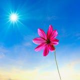 Rosa färgblomma och blå himmel Fotografering för Bildbyråer