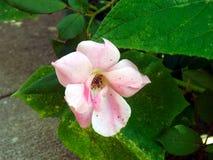 Rosa färgblomma- och gräsplansidor arkivbilder