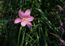 Rosa färgblomma och grönt gräs Royaltyfria Foton