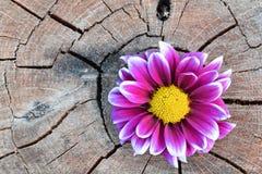 Rosa färgblomma på åldrigt trä Arkivfoto