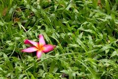 Rosa färgblomma på grönt gräs Arkivbild