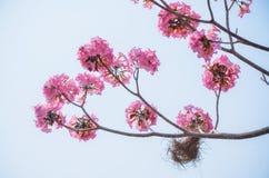 Rosa färgblomma på högt träd Royaltyfri Fotografi