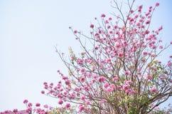 Rosa färgblomma på högt träd Arkivfoto