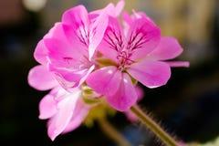Rosa färgblomma: Pelargoniagraveolens Arkivbild