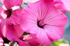 Rosa färgblomma, petunia, rosa kronblad Fotografering för Bildbyråer