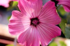 Rosa färgblomma, petunia, rosa kronblad Royaltyfria Foton