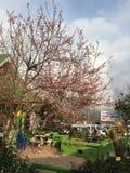 Rosa färgblomma Sakura Thailand Petchabun PhuTubBerk Arkivfoto
