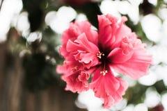 rosa färgblomma som bara hänger royaltyfri fotografi
