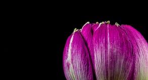 Rosa färgblomma som isoleras på svart bakgrund Fotografering för Bildbyråer