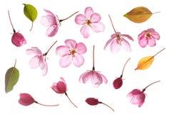 Rosa färgblomma som isoleras på vit Arkivbild