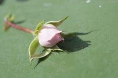 Rosa färgblomma som ligger på jordningen Royaltyfri Bild