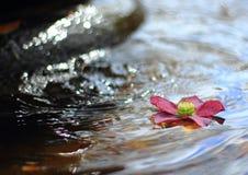 Rosa färgblomma som svävar i springbrunnvatten Fotografering för Bildbyråer