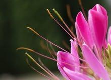 Rosa färgblommabakgrund Fotografering för Bildbyråer
