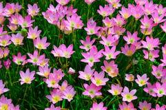 Rosa färgblommabakgrunder Arkivbild