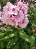 rosa färgblommablom Arkivbilder