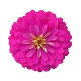 Rosa färgblommablom som isoleras på vit bakgrund med det passande urklippet Fotografering för Bildbyråer