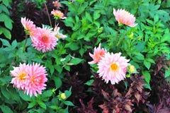 Rosa färgblommablomning arkivfoton