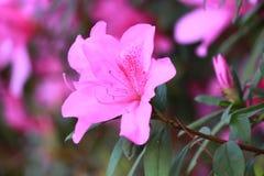 Rosa färgblommablomning Royaltyfria Foton