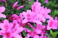 Rosa färgblommablomning Arkivbilder