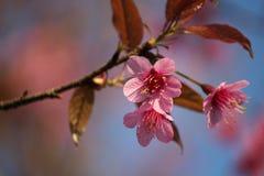 Rosa färgblommablomning Royaltyfria Bilder