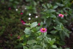 Rosa färgblommabuskage Royaltyfria Bilder