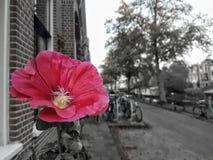 Rosa färgblommacolorsplash Fotografering för Bildbyråer