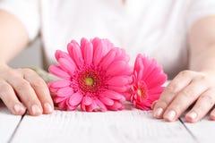 Rosa färgblommagerbera i kvinnlighänder, begrepp för omsorg för övre sikt för slut kvinnligt Royaltyfria Bilder