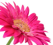 Rosa färgblommagerberaen av stjälk isoleras på vit bakgrund Arkivfoton