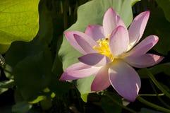 Rosa färgblommalotusblomma Royaltyfria Foton